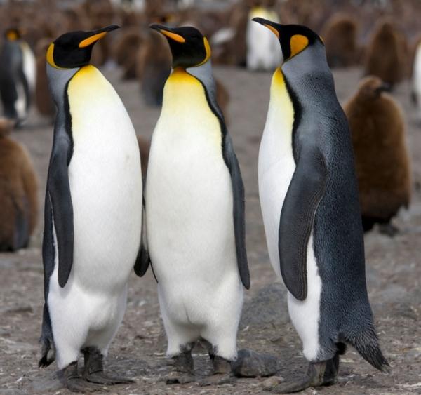 Почему пингвины вызывают смех