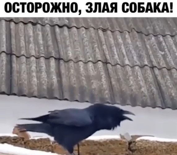 Юмор: Ворон примерил амплуа стража двора