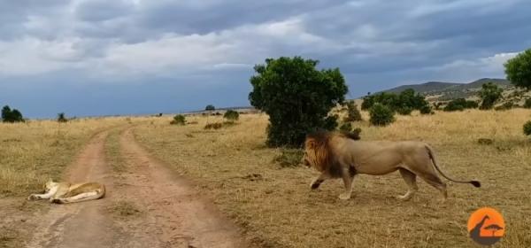 Юмор: Лев на цыпочках подкрался к львице! Сделал пакость - средцу радость