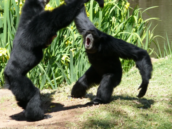 Вечно орущие обезьяны со странным горлом (8 фото)