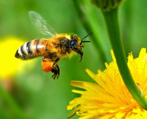 Это интересно: Как пьянеют пчелы