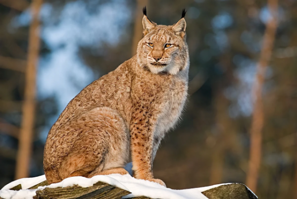 6 интересных фактов о рысях, которые могут удивить