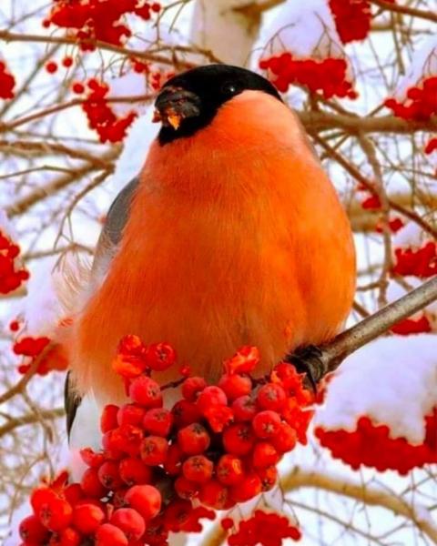 Красивые яркие птички - снегири (15 фото)