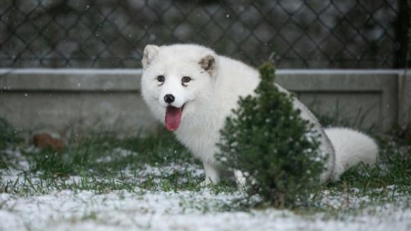 Этот песец впервые увидел снег. Посмотрите, как он счастлив! (6 фото)