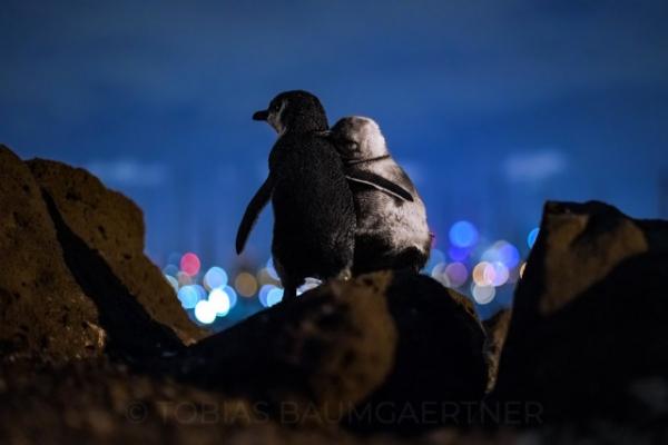 Эта фотография с двумя овдовевшими пингвинами, в обнимку смотрящими на городской силуэт Мельбурна, вправе считаться лучшей фотографией года (2 фото)