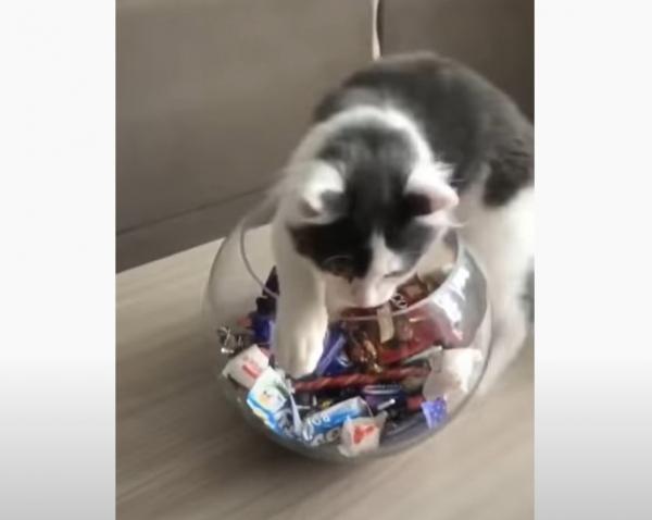 Юмор: Дай конфетку. Кот посадил хозяйку на диету