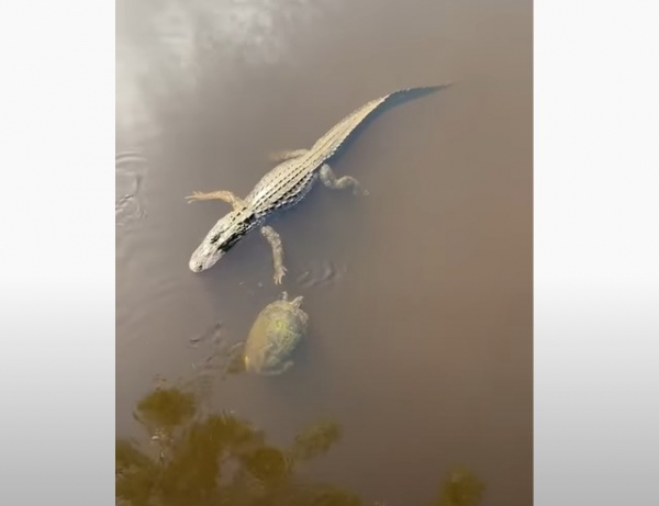 Юмор: Дай пять, бро! Как черепахи здороваются с аллигаторами