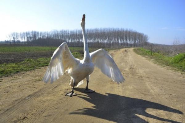 Лебединая верность (7 фото)