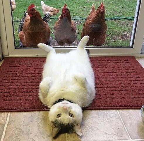 Что этим курицам нужно? (5 фото)