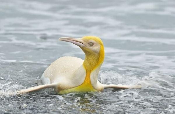 В природе заметили уникального жёлтого пингвина (3 фото)