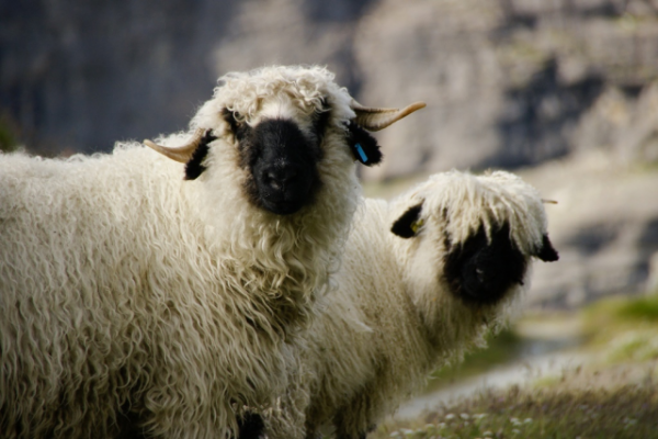 Валлисские черноносые овцы (6 фото)
