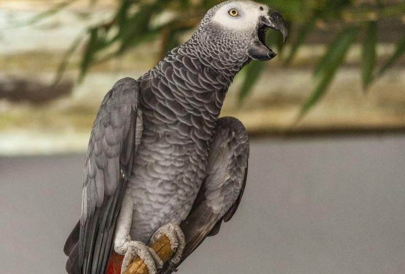 Забавное видео: Говорящий попугай покусал хозяйку и по-джентльменски загладил вину