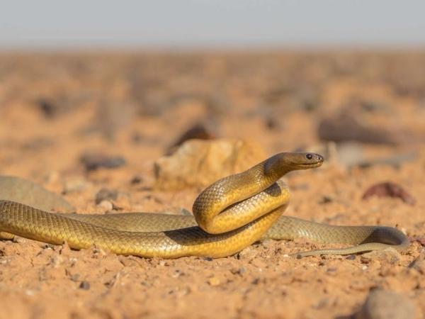 Самая ядовитая змея в мире, которая ещё ни разу никого не убила