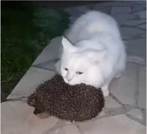Забавное видео: Кошкин ёж