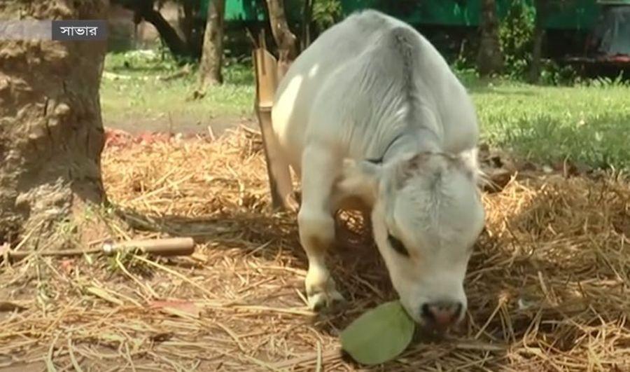 Самая маленькая корова в мире   Домашние животные