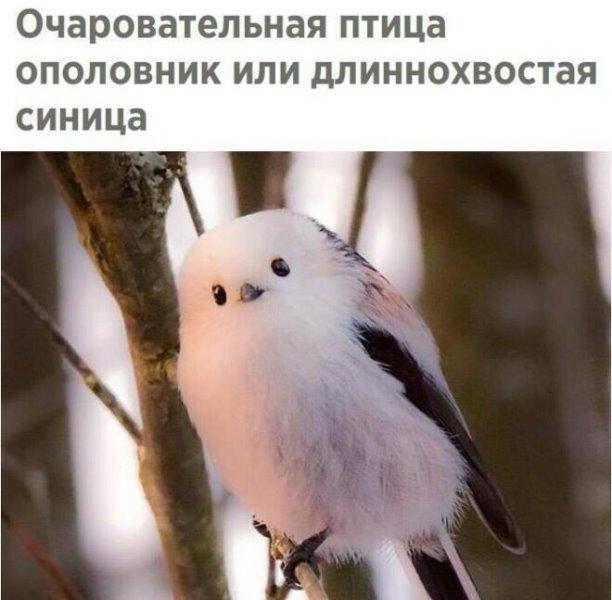 Длиннохвостая синица (8 фото)