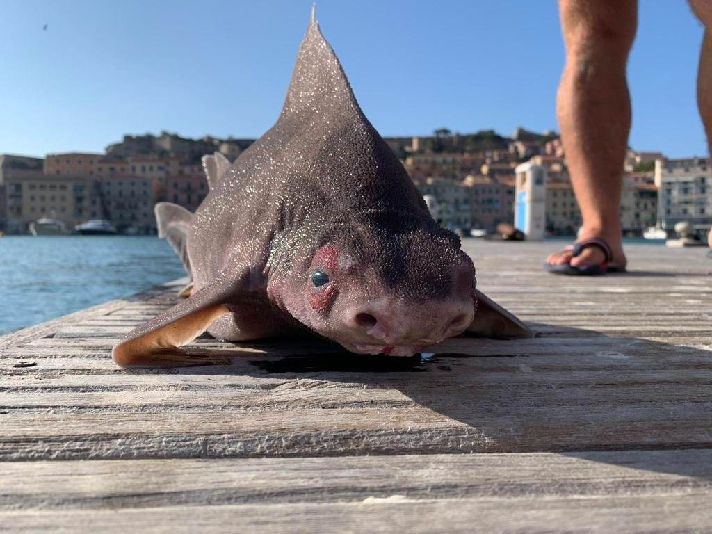 В Италии заметили акулу с мордой свиньи